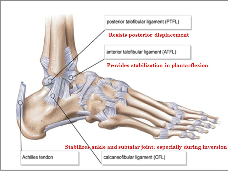 Resists posterior displacement Provides stabilization in plantarflexion Stabilizes ankle and subtalar joint; especially during inversion