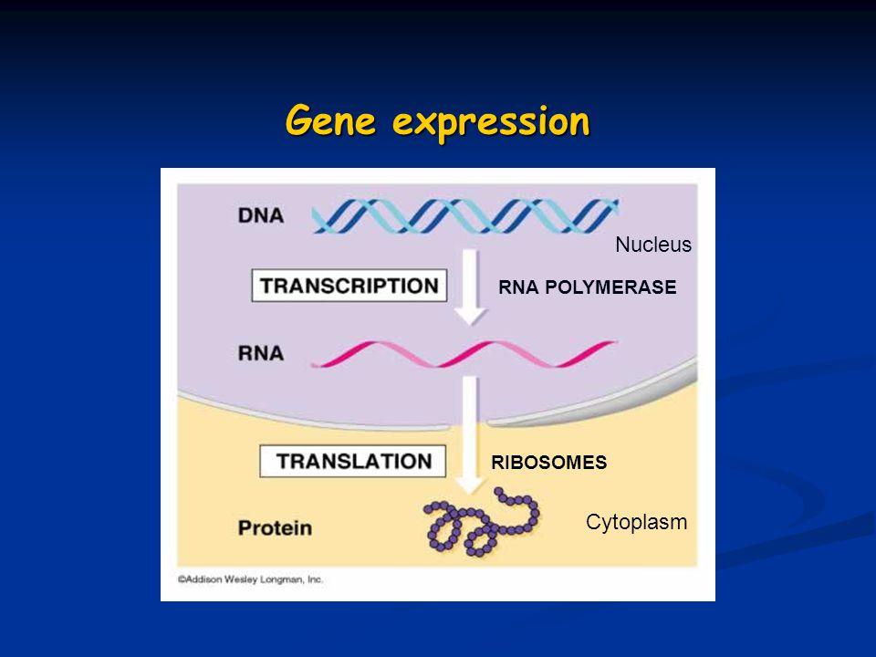 Gene expression RNA POLYMERASE RIBOSOMES Nucleus Cytoplasm