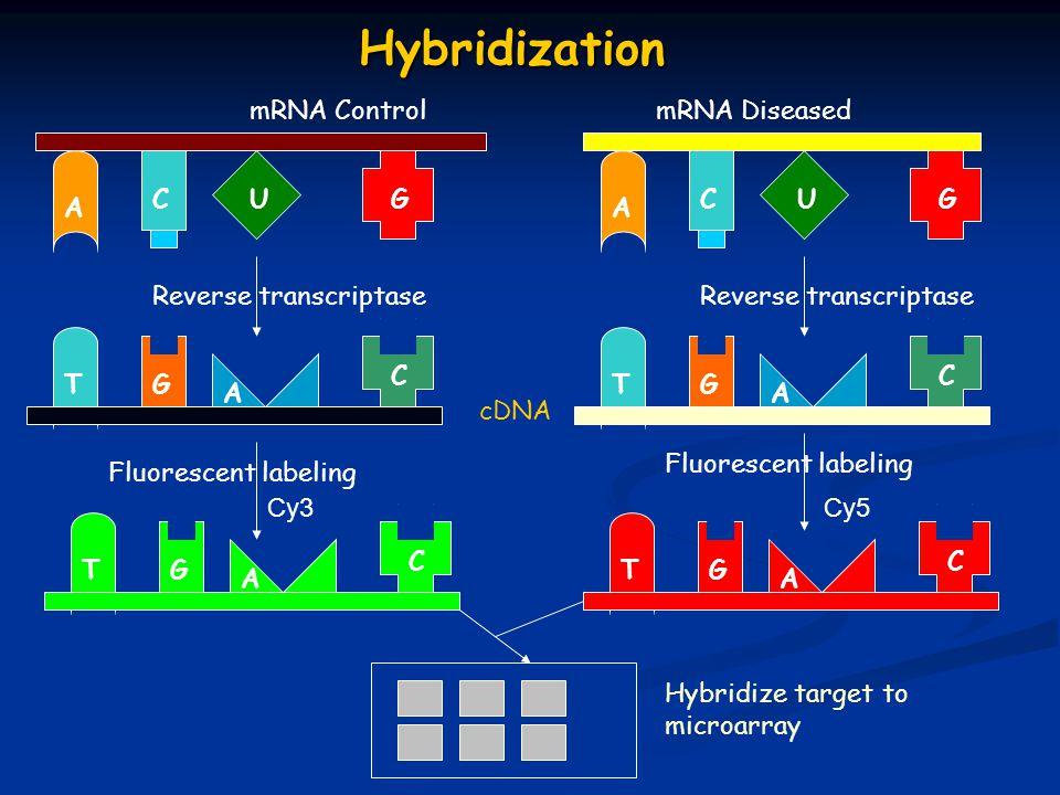 A CUG TG A C A CUG TG A C mRNA ControlmRNA Diseased Reverse transcriptase Fluorescent labeling Cy3Cy5 cDNA TG A C TG A C Hybridize target to microarray Hybridization