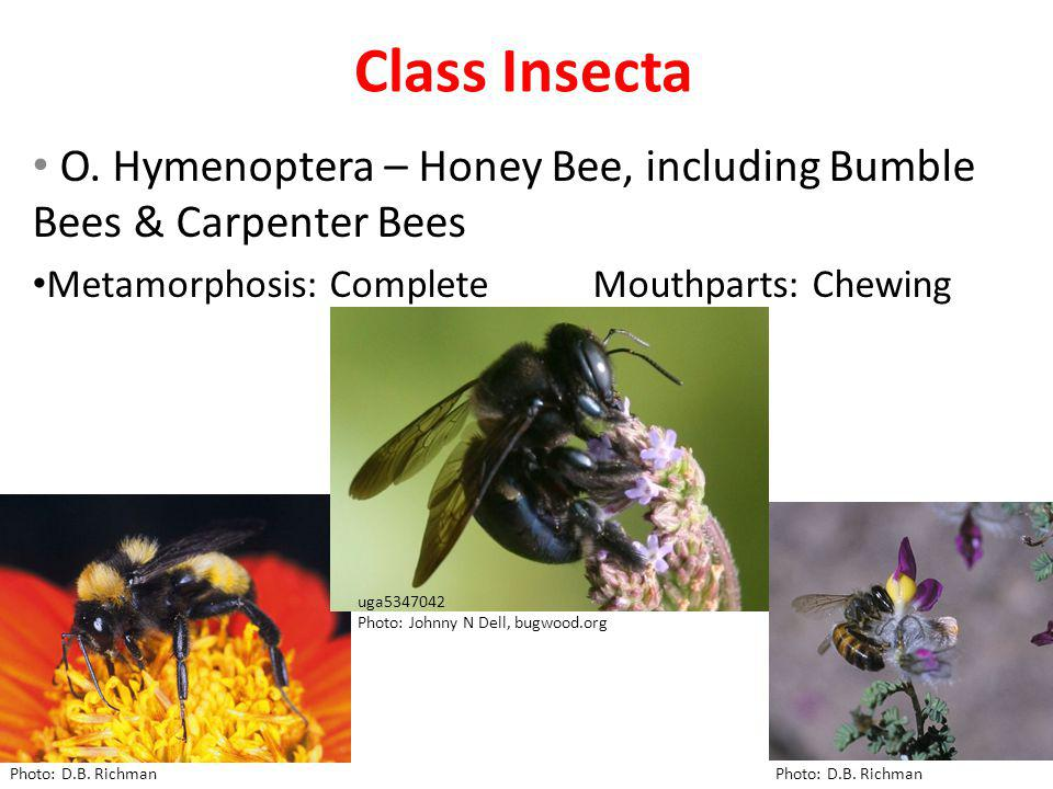 Class Insecta O. Hymenoptera – Honey Bee, including Bumble Bees & Carpenter Bees Metamorphosis: Complete Mouthparts: Chewing Bumble bee Honey bee Phot