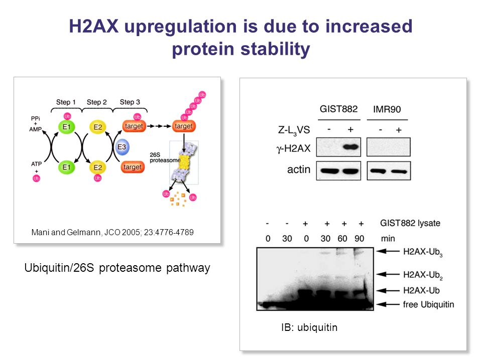 H2AX upregulation is due to increased protein stability IB: ubiquitin Ubiquitin/26S proteasome pathway Mani and Gelmann, JCO 2005; 23:4776-4789