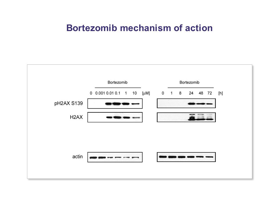 Bortezomib mechanism of action