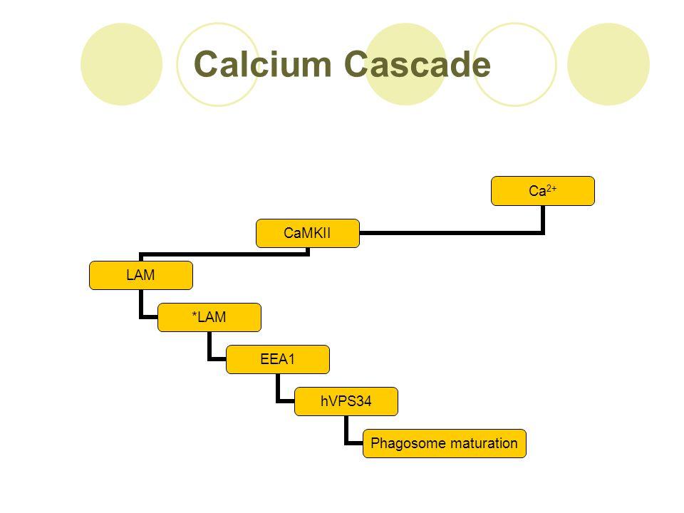 Calcium Cascade Ca 2+ CaMKII LAM *LAM EEA1 hVPS34 Phagosome maturation