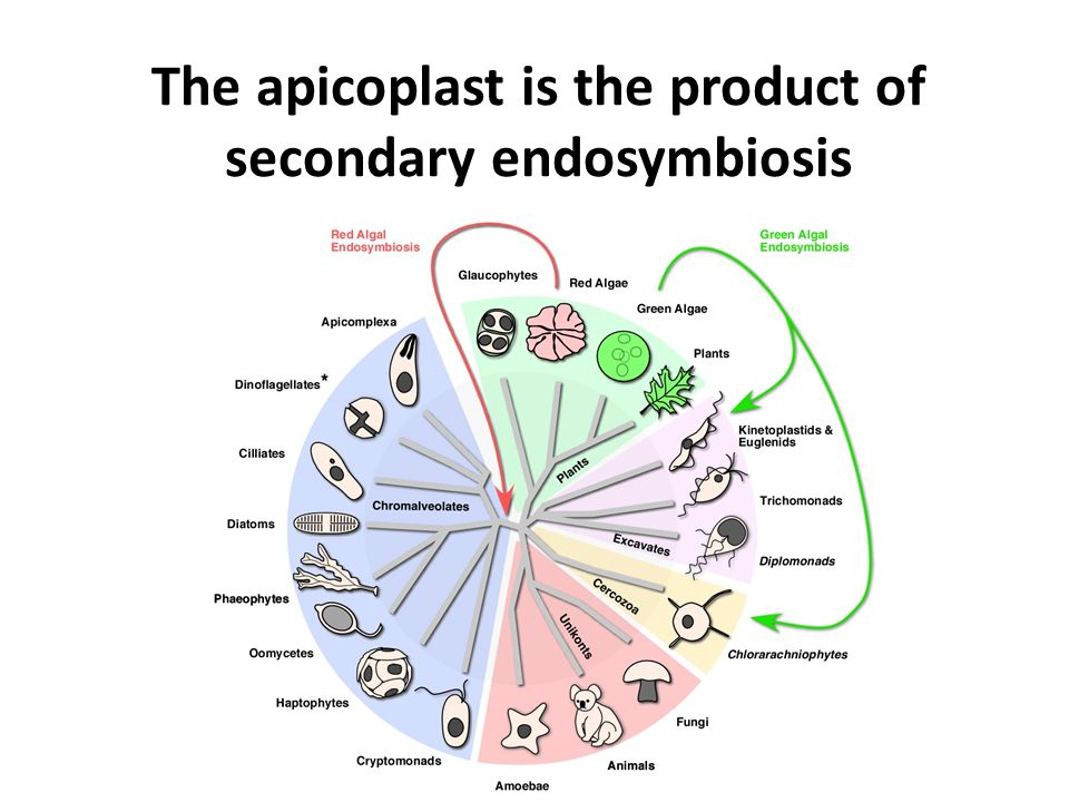 The apicoplast is the product of secondary endosymbiosis