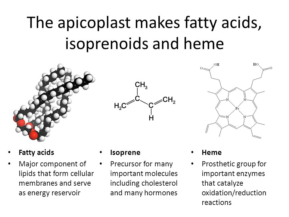The apicoplast makes fatty acids, isoprenoids and heme Heme Prosthetic group for important enzymes that catalyze oxidation/reduction reactions Isoprene Precursor for many important molecules including cholesterol and many hormones Fatty acids Major component of lipids that form cellular membranes and serve as energy reservoir