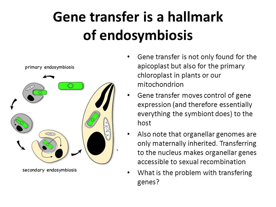 Gene transfer is a hallmark of endosymbiosis Gene transfer is not only found for the apicoplast but also for the primary chloroplast in plants or our mitochondrion Gene transfer moves control of gene expression (and therefore essentially everything the symbiont does) to the host Also note that organellar genomes are only maternally inherited.