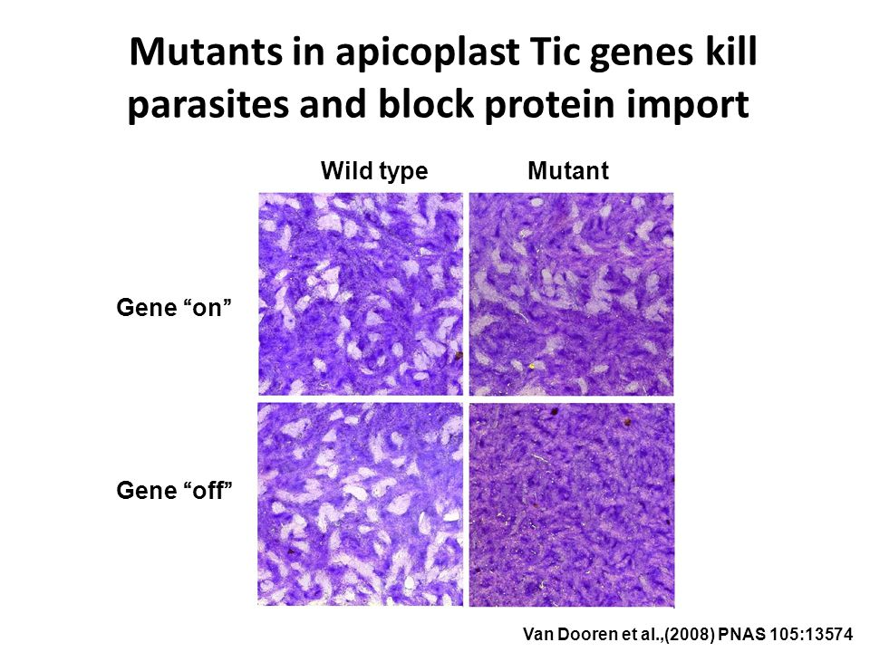 Mutants in apicoplast Tic genes kill parasites and block protein import Van Dooren et al.,(2008) PNAS 105:13574 Gene on Gene off MutantWild type