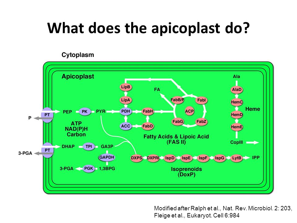 What does the apicoplast do. Modified after Ralph et al., Nat.
