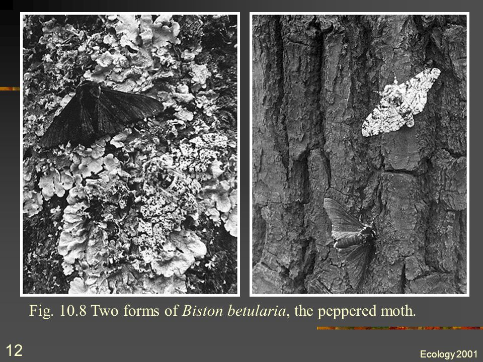 Ecology 2001 11 Unnatural selection In 25 years of fieldwork, C. A. Clarke and his colleagues found only one peppered moth on a tree trunk, and admitt