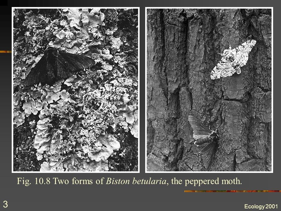 Ecology 2001 3 Fig. 10.8 Two forms of Biston betularia, the peppered moth.