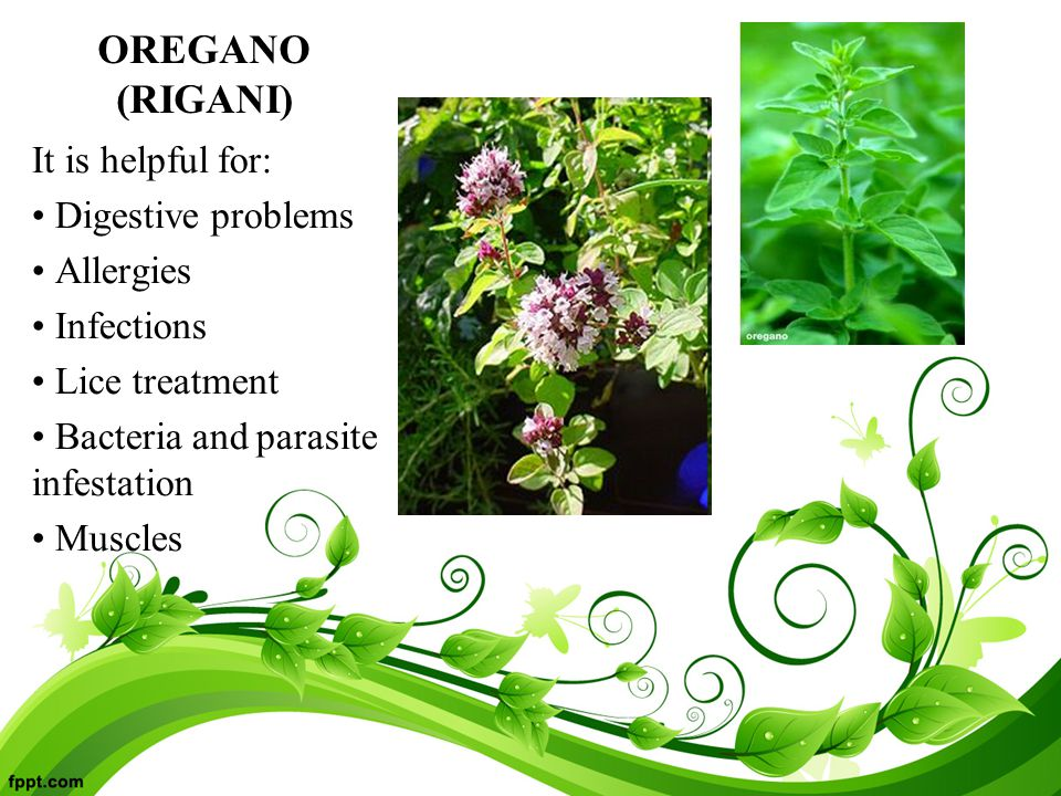 OREGANO (RIGANI) It is helpful for: Digestive problems Allergies Infections Lice treatment Bacteria and parasite infestation Muscles