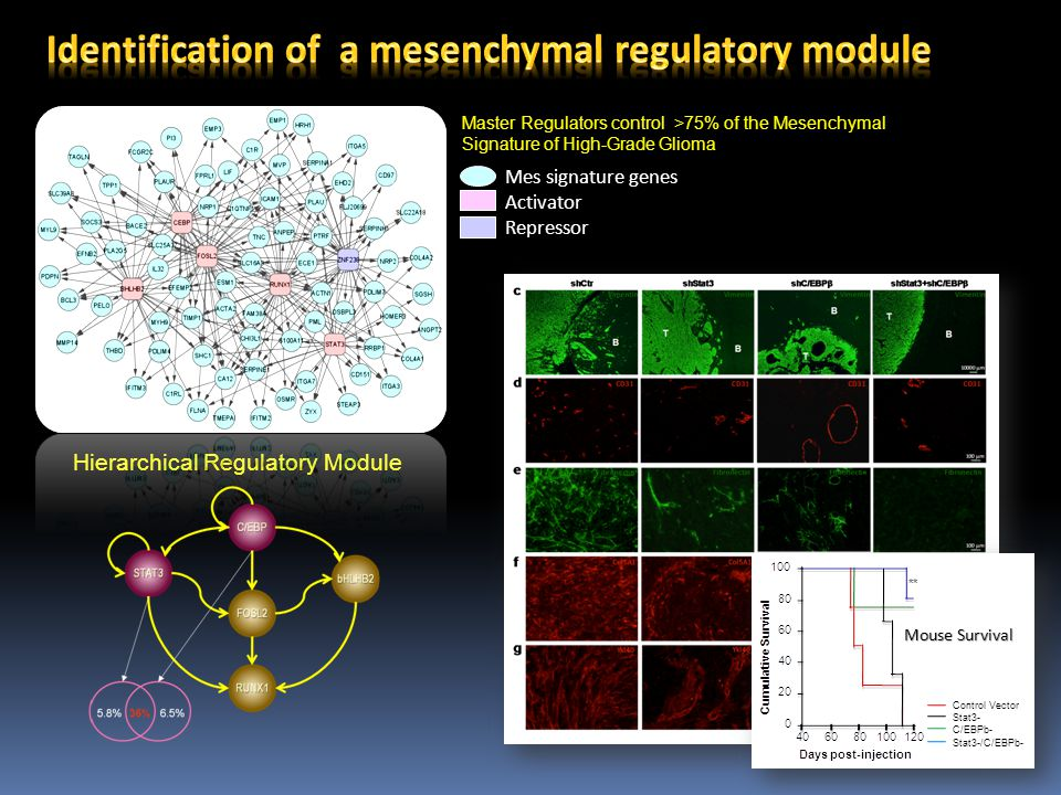 Mes signature genes Activator Repressor Master Regulators control >75% of the Mesenchymal Signature of High-Grade Glioma Hierarchical Regulatory Module Control Vector Stat3- C/EBPb- Stat3-/C/EBPb- Mouse Survival