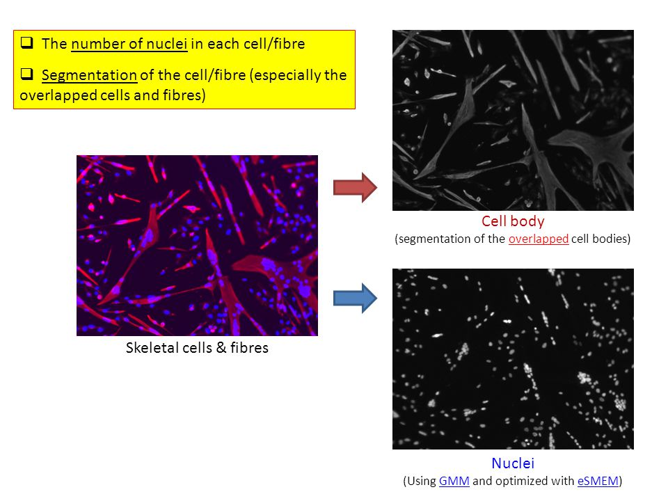 Cell body (segmentation of the overlapped cell bodies) Nuclei (Using GMM and optimized with eSMEM) Skeletal cells & fibres  The number of nuclei in e