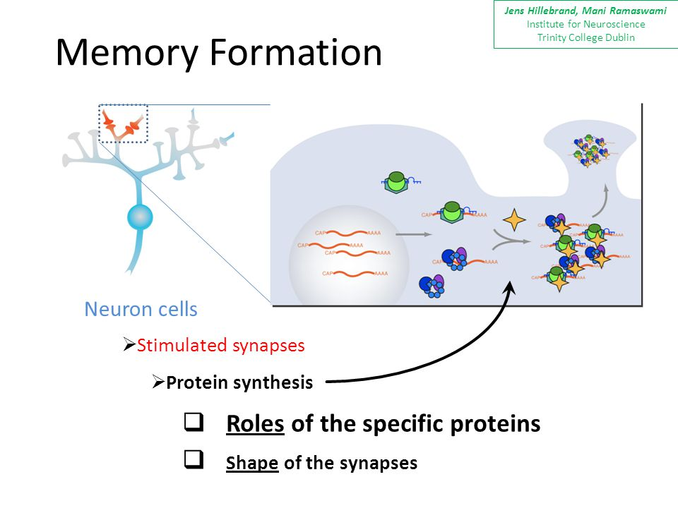 Memory Formation Neuron cells  Stimulated synapses  Protein synthesis  Roles of the specific proteins  Shape of the synapses Jens Hillebrand, Mani