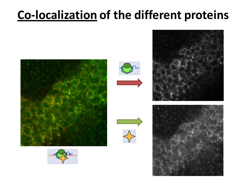 Co-localization of the different proteins