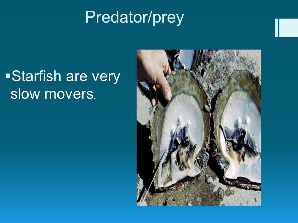 Predator/prey  Starfish are very slow movers.