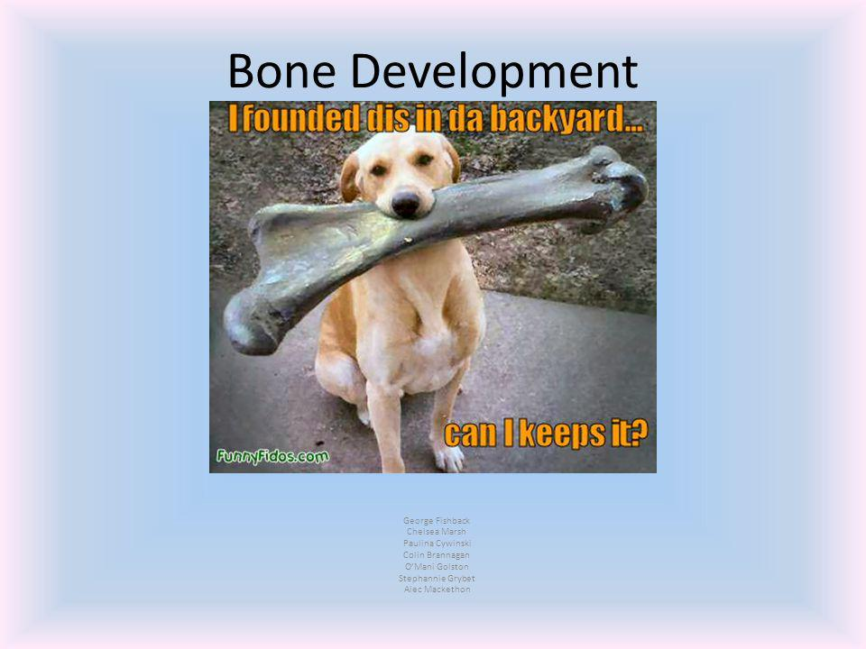 Bone Development George Fishback Chelsea Marsh Paulina Cywinski Colin Brannagan O'Mani Golston Stephannie Grybet Alec Mackethon