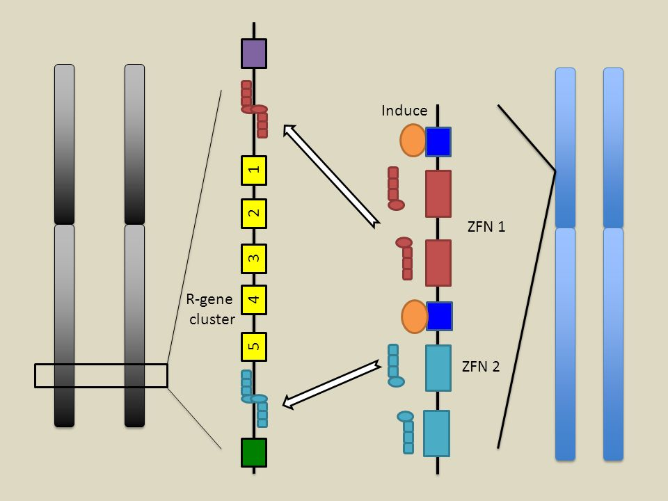 R-gene cluster 1 2 3 4 5 Induce ZFN 1 ZFN 2