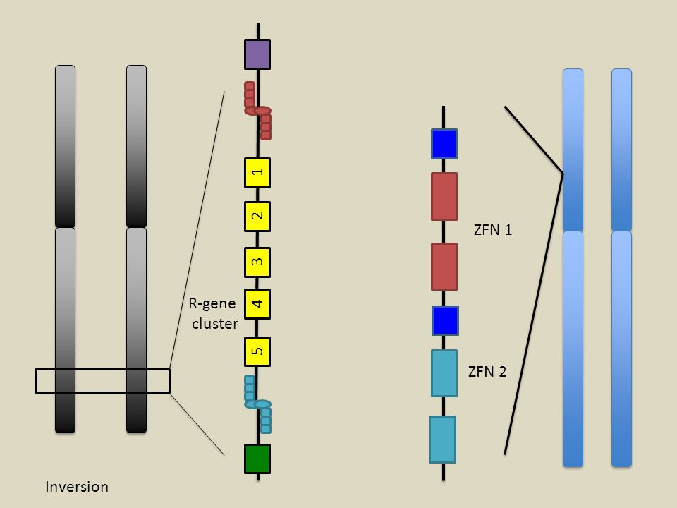 1 2 3 4 5 ZFN 1 ZFN 2 R-gene cluster Inversion