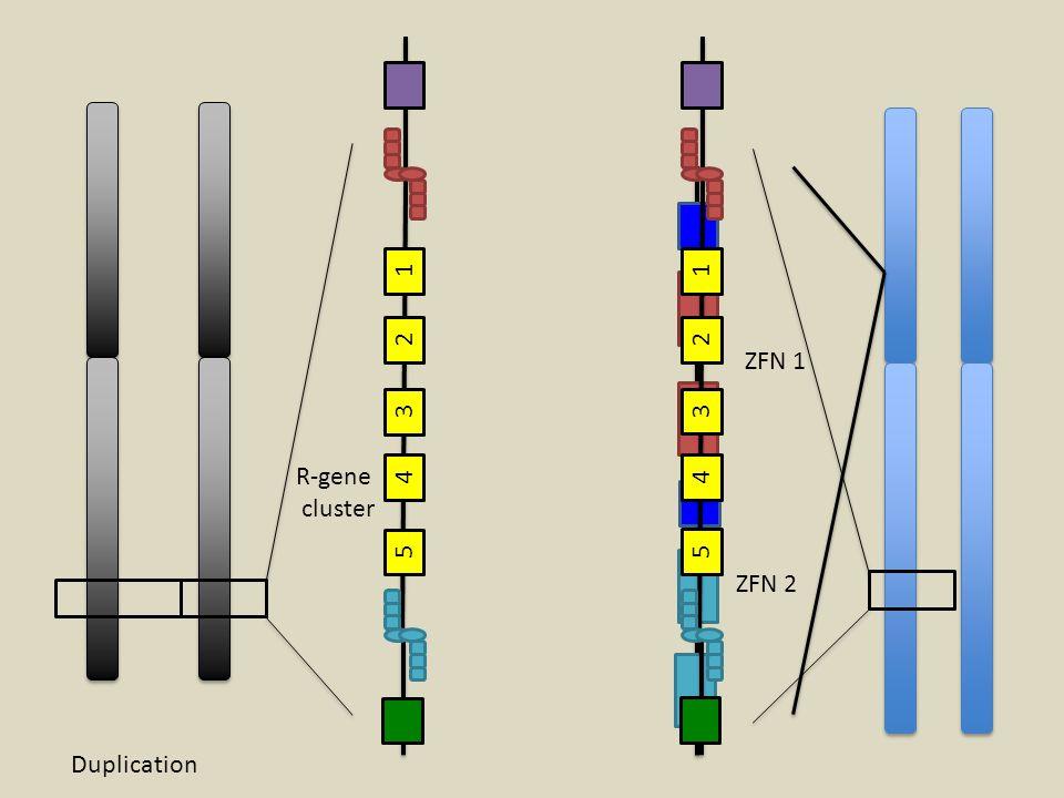 1 2 3 4 5 ZFN 1 ZFN 2 R-gene cluster 1 2 3 4 5 Duplication