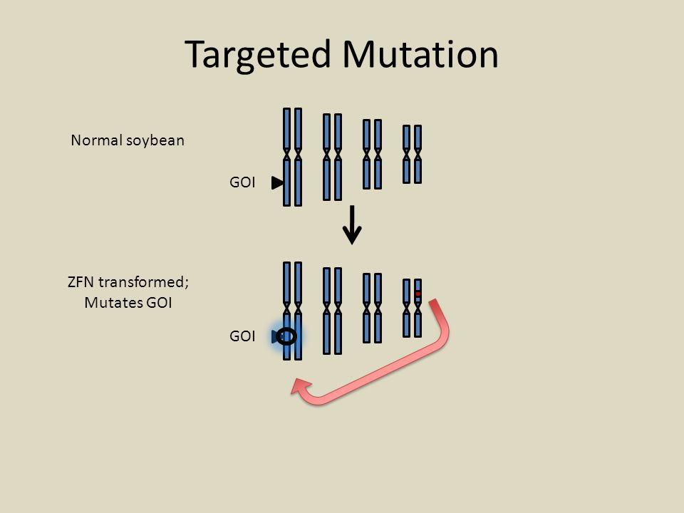 GOI Normal soybean ZFN transformed; Mutates GOI Targeted Mutation
