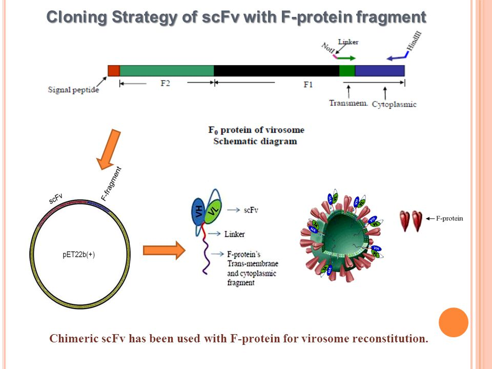 Cloning Strategy of scFv with F-protein fragment Chimeric scFv has been used with F-protein for virosome reconstitution.