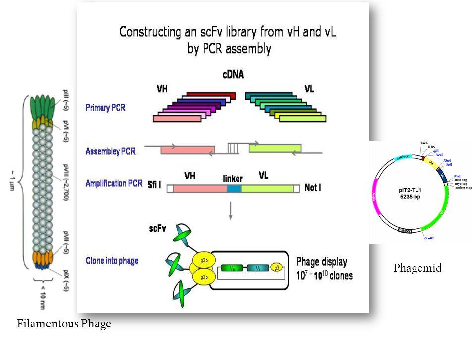 Filamentous Phage Phagemid