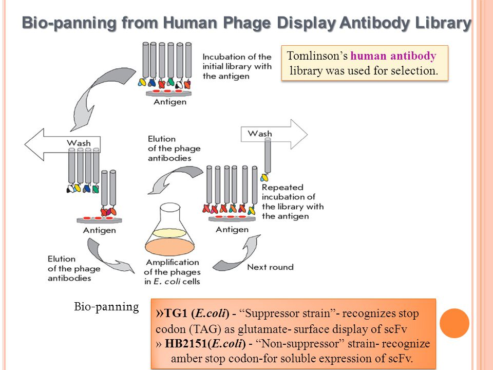 Bio-panning from Human Phage Display Antibody Library Bio-panning » TG1 (E.coli) - Suppressor strain - recognizes stop codon (TAG) as glutamate- surface display of scFv » HB2151(E.coli) - Non-suppressor strain- recognize amber stop codon-for soluble expression of scFv.