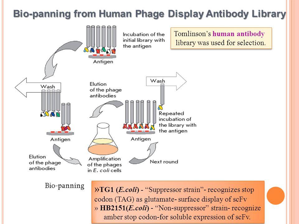 PEG precipitated monoclonal phage ELISA.