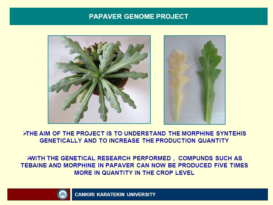 PAPAVER GENOME PROJECT  THE AIM OF THE PROJECT IS TO UNDERSTAND THE MORPHINE SYNTEHIS GENETICALLY AND TO INCREASE THE PRODUCTION QUANTITY  WITH THE GENETICAL RESEARCH PERFORMED, COMPUNDS SUCH AS TEBAINE AND MORPHINE IN PAPAVER CAN NOW BE PRODUCED FIVE TIMES MORE IN QUANTITY IN THE CROP LEVEL CANKIRI KARATEKIN UNIVERSITY