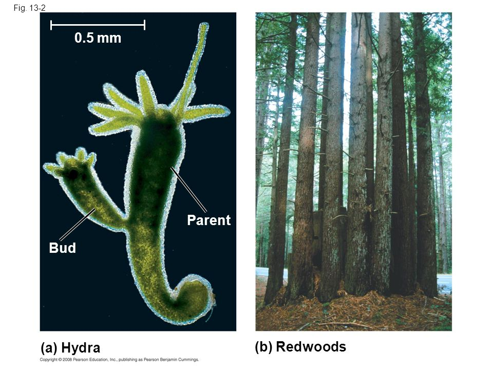 Fig. 13-2 (a) Hydra (b) Redwoods Parent Bud 0.5 mm