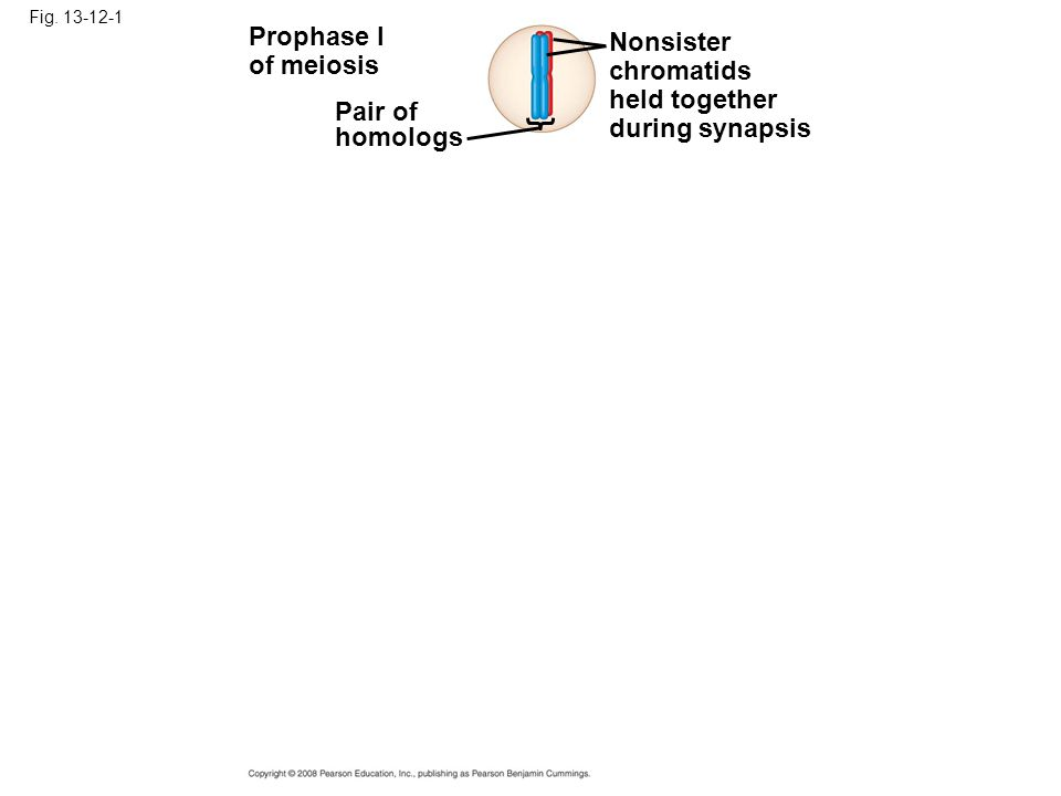 Fig. 13-12-1 Prophase I of meiosis Pair of homologs Nonsister chromatids held together during synapsis