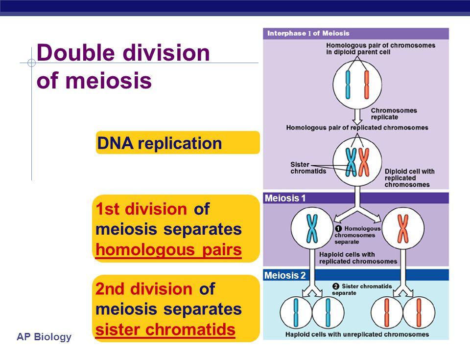 AP Biology Overview of meiosis I.P.M.A.T.P.M.A.T interphase 1prophase 1metaphase 1anaphase 1 telophase 1 prophase 2 metaphase 2anaphase 2telophase 2 2n=4 n=2