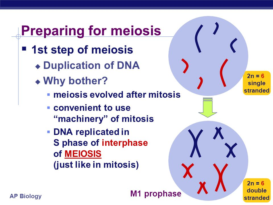AP Biology 2nd division of meiosis separates sister chromatids 1st division of meiosis separates homologous pairs Double division of meiosis DNA repli