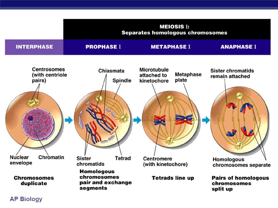 AP Biology Steps of meiosis  Meiosis 1  interphase  prophase 1  metaphase 1  anaphase 1  telophase 1  Meiosis 2  prophase 2  metaphase 2  anaphase 2  telophase 2 2nd division of meiosis separates sister chromatids (1n  1n) * just like mitosis * 1st division of meiosis separates homologous pairs (2n  1n) reduction division