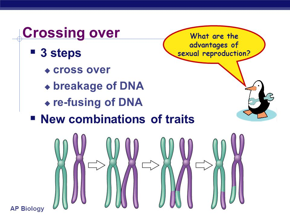 Trading pieces of DNA  Crossing over  during Prophase 1, sister chromatids intertwine  synapsis  homologous pairs swap pieces of chromosome  DNA