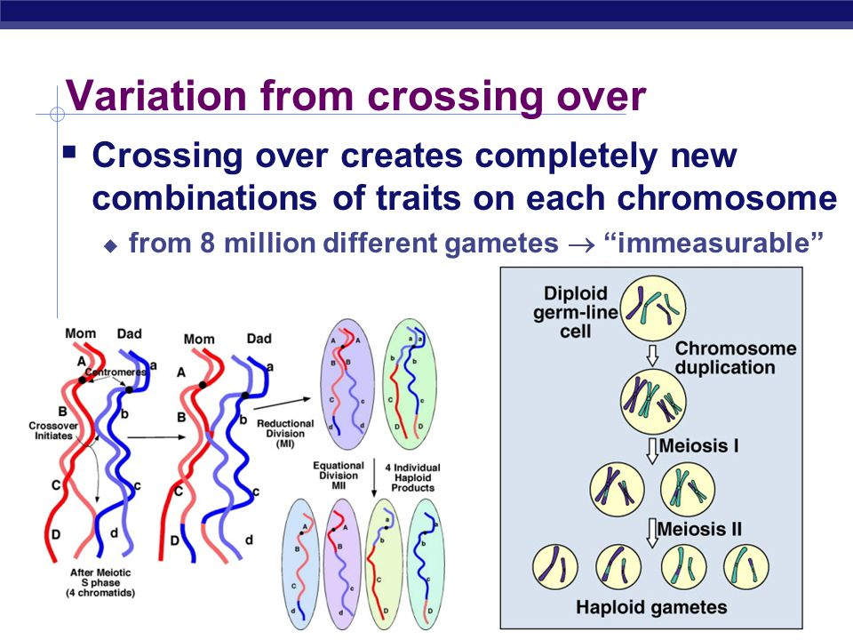 AP Biology Variation from genetic recombination  Independent assortment of chromosomes  meiosis introduces genetic variation  gametes of offspring