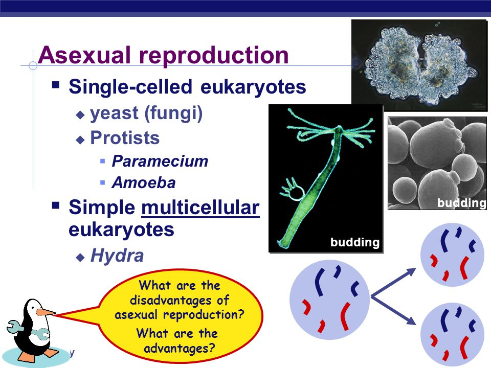 AP Biology Cell division / Asexual reproduction  Mitosis  produce cells with same information  identical daughter cells  exact copies  clones  s
