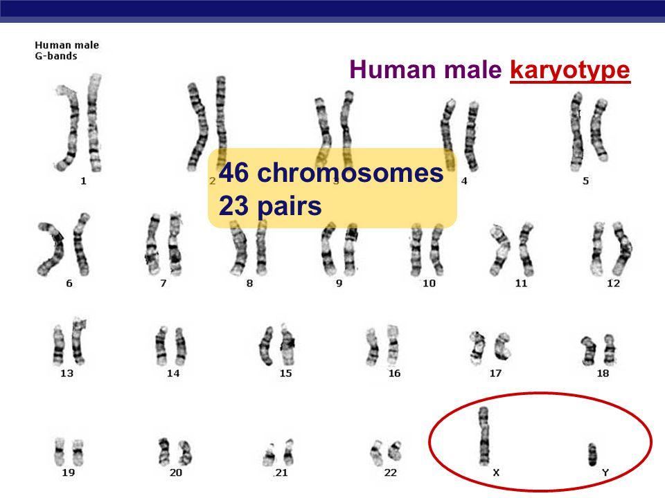 AP Biology Human female karyotype 46 chromosomes 23 pairs