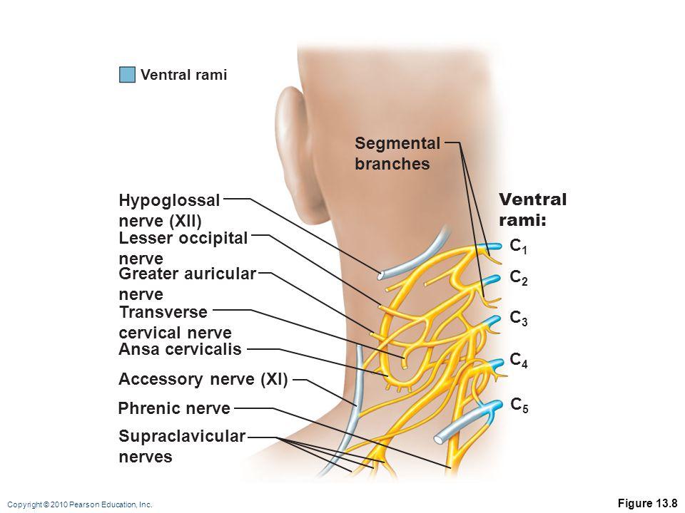 Copyright © 2010 Pearson Education, Inc. Figure 13.8 Hypoglossal nerve (XII) C1C1 C2C2 C3C3 C4C4 C5C5 Segmental branches Lesser occipital nerve Greate
