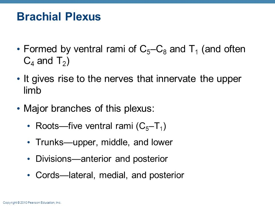 Copyright © 2010 Pearson Education, Inc. Brachial Plexus Formed by ventral rami of C 5 –C 8 and T 1 (and often C 4 and T 2 ) It gives rise to the nerv