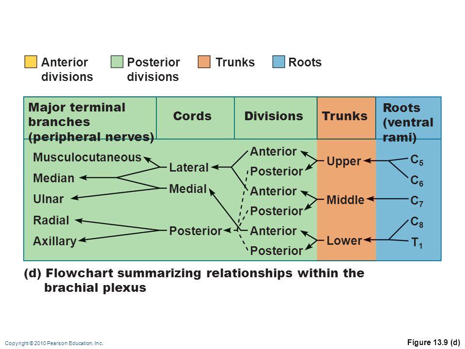 Copyright © 2010 Pearson Education, Inc. Figure 13.9 (d) Anterior divisions (d) Flowchart summarizing relationships within the brachial plexus Major t