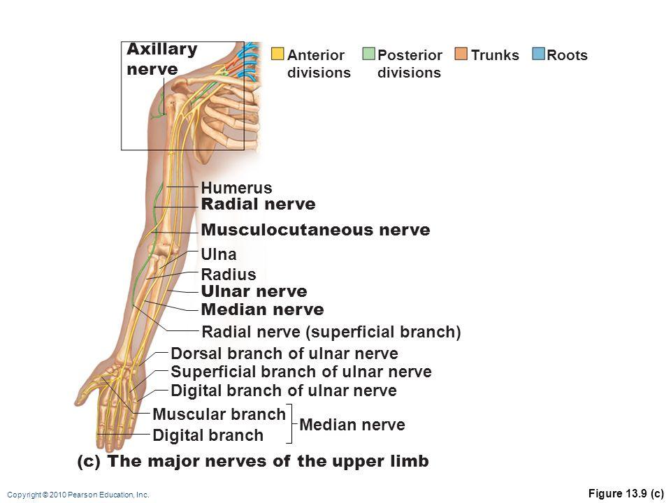 Copyright © 2010 Pearson Education, Inc. Figure 13.9 (c) Median nerve Musculocutaneous nerve Radial nerve Humerus Ulna Ulnar nerve Median nerve Radius
