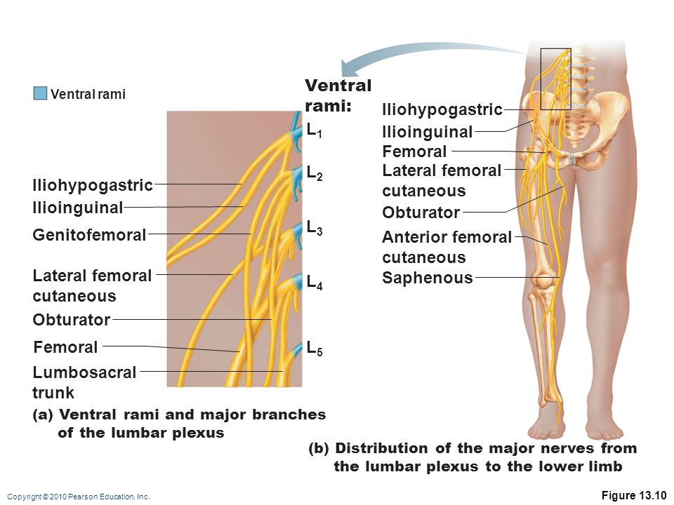Copyright © 2010 Pearson Education, Inc. Figure 13.10 (a) Ventral rami and major branches of the lumbar plexus Iliohypogastric L1L1 L2L2 L3L3 L4L4 L5L
