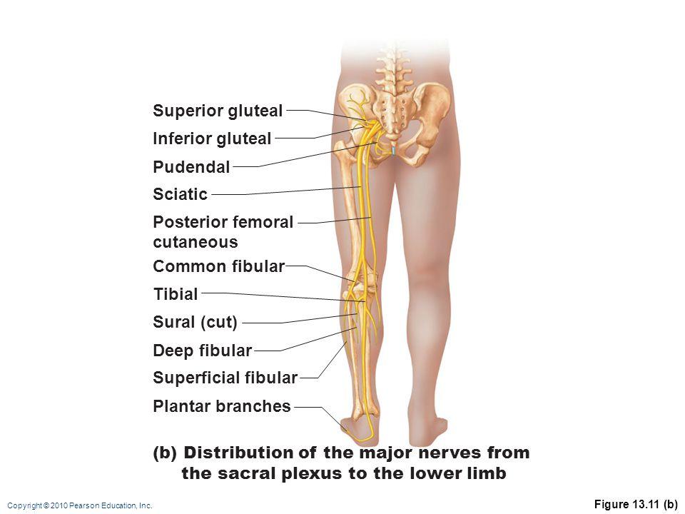 Copyright © 2010 Pearson Education, Inc. Figure 13.11 (b) Superior gluteal Inferior gluteal Common fibular Deep fibular Superficial fibular Plantar br