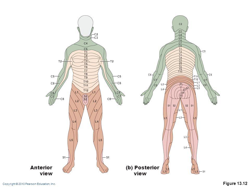 Copyright © 2010 Pearson Education, Inc. Figure 13.12 C2 C3 C4 C5 T1 T2 T3 T4 T5 C6 C8 C7 C6 T6 T7 T8 T9 T10 T11 T12 L1 S2 S3 L1 L2 L3 L4 L5 L2 L3 L4