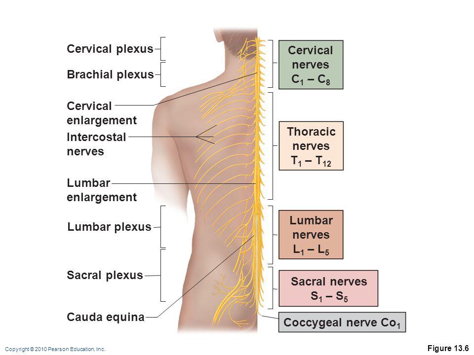 Copyright © 2010 Pearson Education, Inc. Figure 13.6 Cervical nerves C 1 – C 8 Thoracic nerves T 1 – T 12 Lumbar nerves L 1 – L 5 Sacral nerves S 1 –