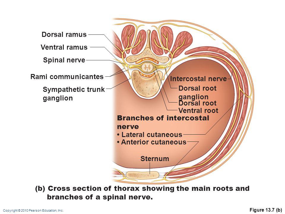 Copyright © 2010 Pearson Education, Inc. Figure 13.7 (b) Dorsal ramus Ventral ramus Intercostal nerve Spinal nerve Rami communicantes Dorsal root gang
