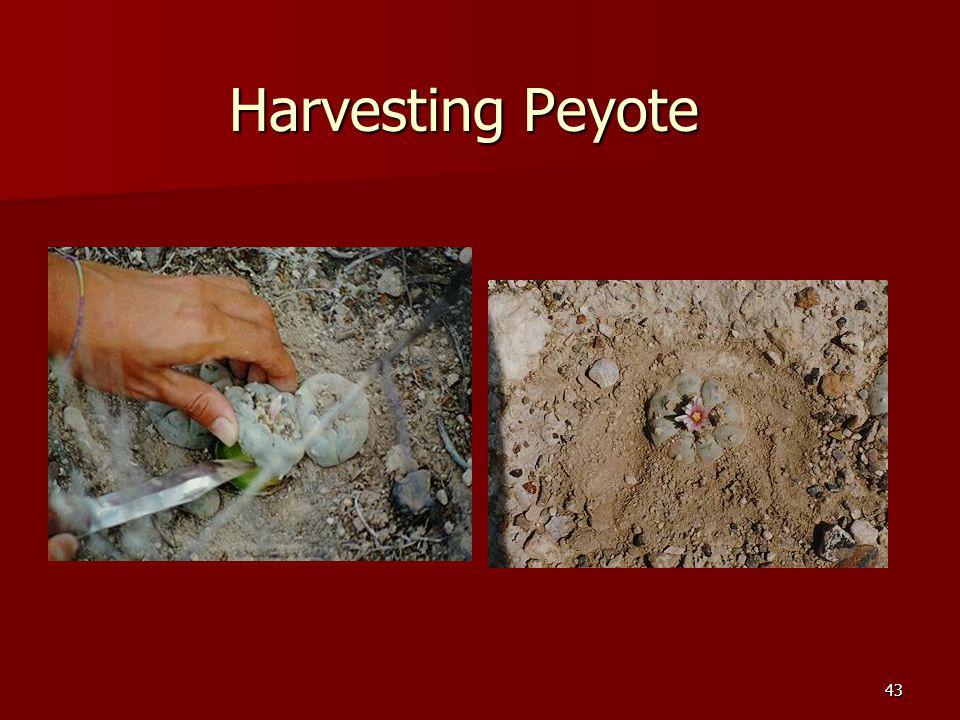 43 Harvesting Peyote
