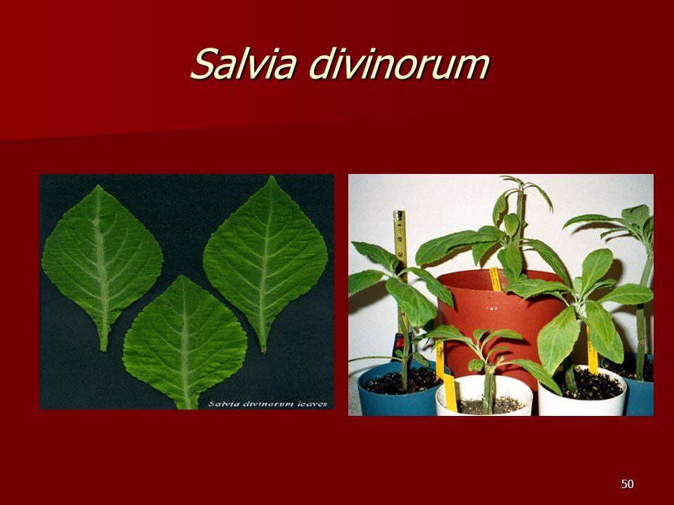 50 Salvia divinorum